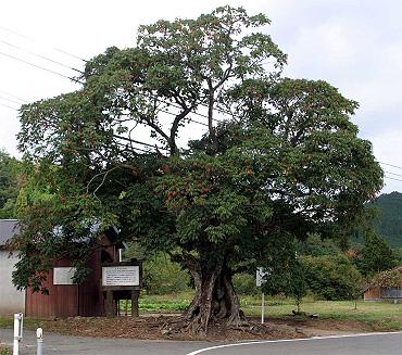 銭屋のハゼの木