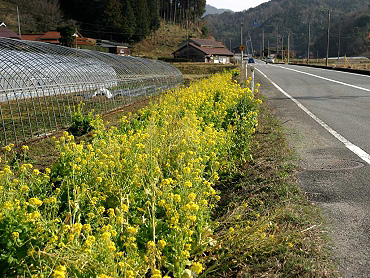 2月の菜の花-1