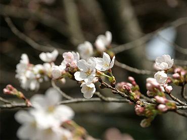 金麗社の桜-2