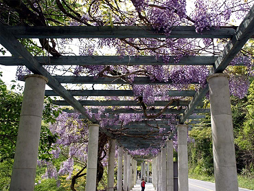 大正洞園地のふじ-2009-4