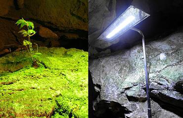 左:秋芳洞内の照明装置下に生育するシダ 右:実験用LED照明
