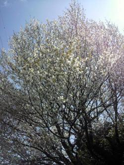 いつもの公園 桜