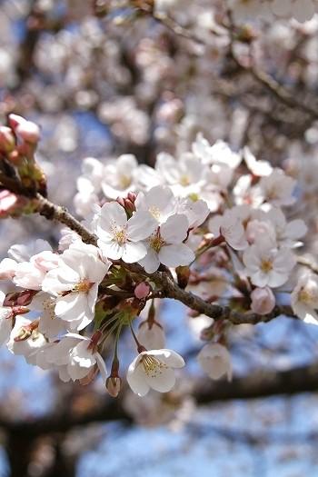 アリン桜7-7
