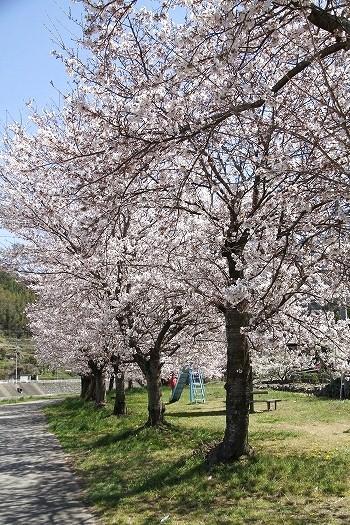 アリン桜6-7