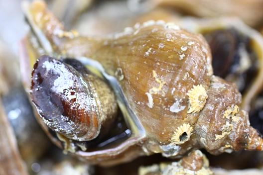 バイ貝刺身 つぶ貝