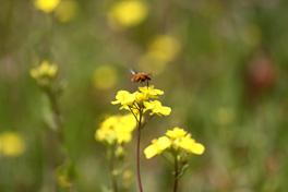荒川 菜の花