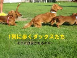1列で歩くダックス_0919