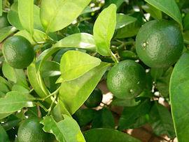 シークワーサーの栽培・栽培方法