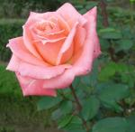 furukawa-rose.jpg