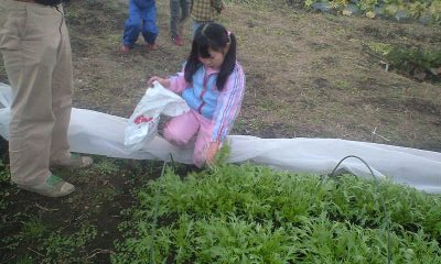 081224実織水菜収穫