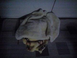 090331毛布に潜るプリ・ベリ
