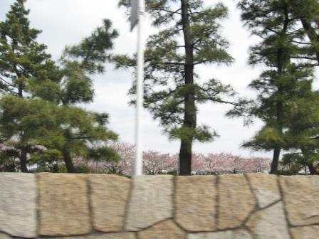 IMG_0004松並木と桜