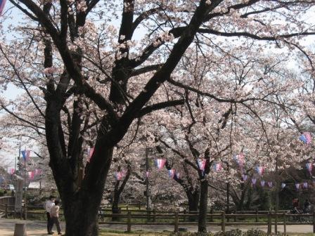 IMG_0016桜