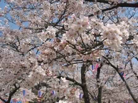 IMG_0042桜満開