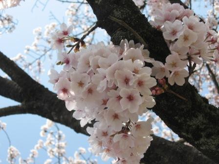 IMG_0002桜アップ
