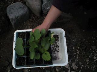CA3A0021ベランダで種から育てていた苗