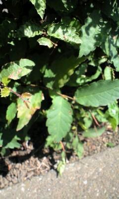 090607プリ・ベリが食べる葉っぱ