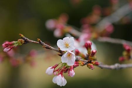 4・3桜2