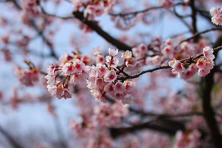 4・3桜1