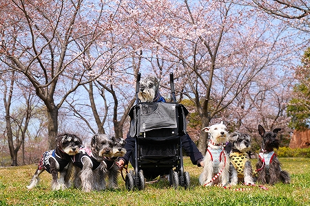 集合4・3桜3