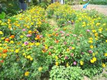 tntnH22-08-25Aさんちの花畑 (1)