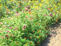 tntnH22-08-25Aさんちの花畑 (2)