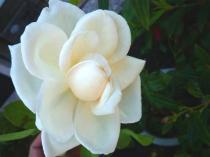tntnH22-08-31白のつるバラ (1)
