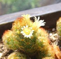 tntnH22-06-06サボテンの花 (1)_1