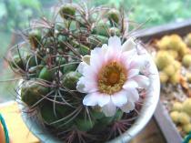 tntnH22-06-30サボテンの花 (3)