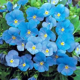 青いビオラ