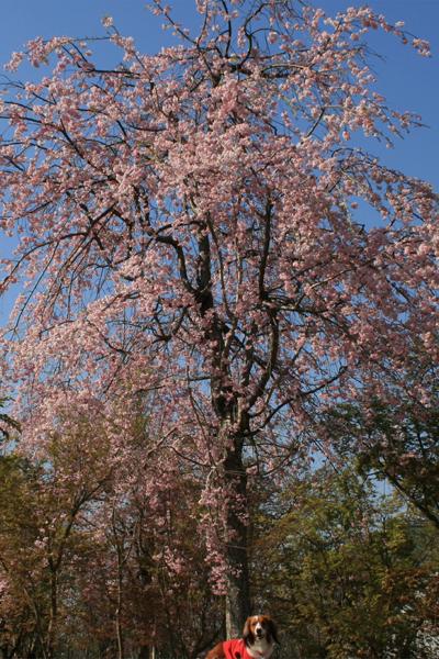 枝垂れ桜の下で