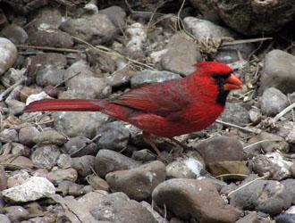cardinal_1223