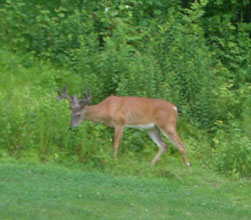 deer_golfcourse01