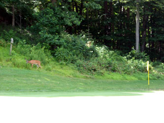 deer_golfcourse02