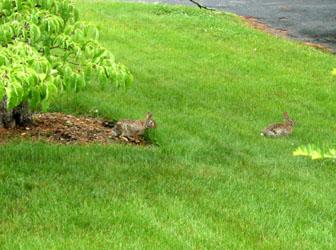 rabbit062501