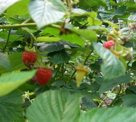 rasberry_080720_05_250