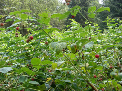 rasberry_080720_06_300