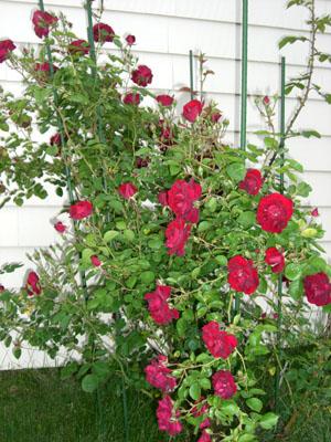 rose_080604_01_300