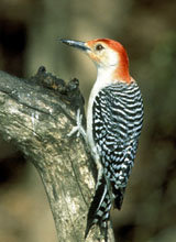 woodpecker_02