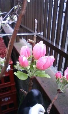 0焼津桜つぼみ中81026_1353~01