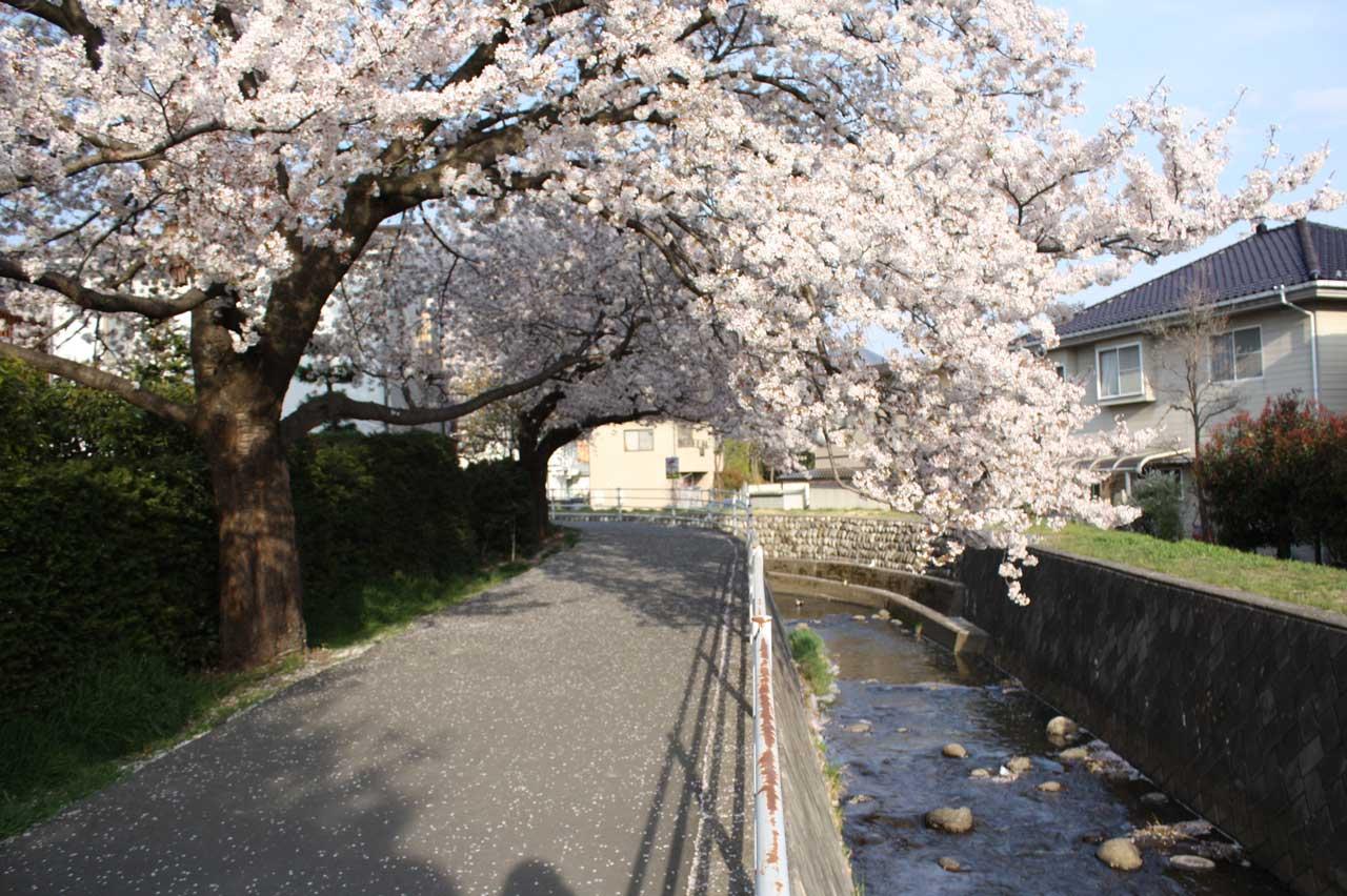 ... 松本にある哲学の道 -信州の桜