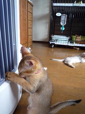 嶋田 ラテちゃん VS 冷扇器 4