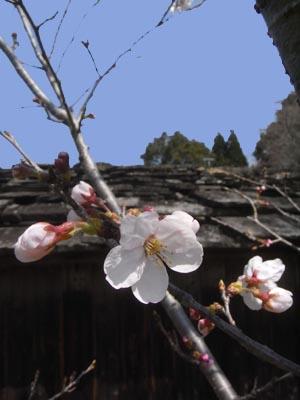桜201201