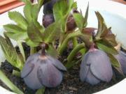 ss黒紫01