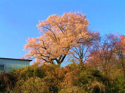 縮小 縮小  グランドの桜ー2