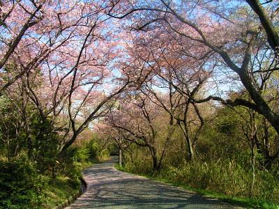 縮小  今年の桜も、終わりかな?-4