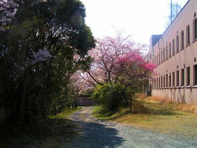 縮小  今年の桜も、終わりかな?-3