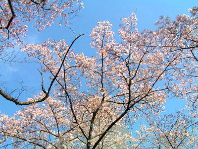 縮小  今年の桜も、終わりかな?-2