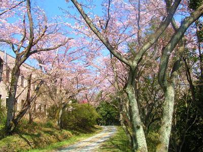 縮小  今年の桜も、終わりかな?-1