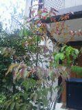 シラキ紅葉201110